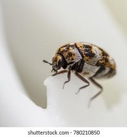Varied Carpet Beetle - Anthrenus verbasci - on peony flower