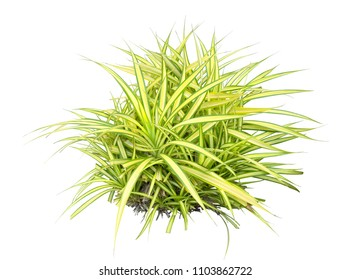 Variegata grass isolated on white background