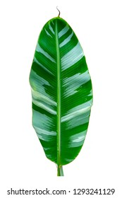 Variegated banana leaf isolated on white background.