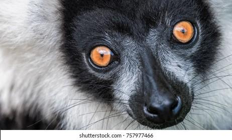 Variegated black-and-white ruffed lemur (Varecia variegatus variegatus) stare