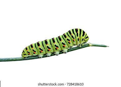 Variegated caterpillar isolated on white background