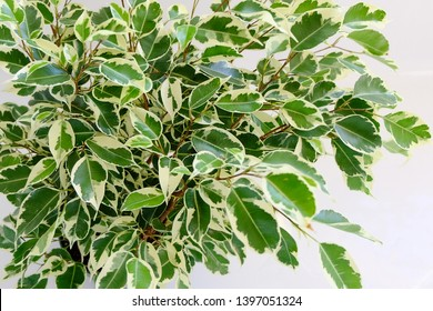 """A """"Variegated Ficus Benjamina"""" houseplant with a white background to show it's colours. This plant is also known as, """"Weeping Fig"""", """"Benjamin Fig"""", and """"Ficus Tree"""". Sadly, this plant has passed away."""
