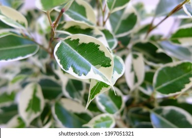 """A """"Variegated Ficus Benjamina"""" houseplant with a zoomed in view to show it's colours. This plant is also known as, """"Weeping Fig"""", """"Benjamin Fig"""", and """"Ficus Tree"""". Sadly, this plant has passed away."""