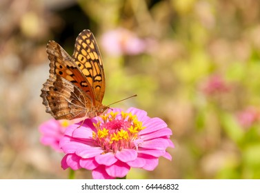 Variegated Fritillary butterfly feeding on a bright pink Zinnia flower