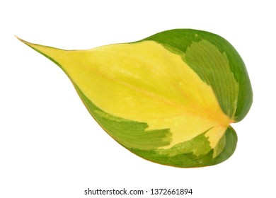 Variegated green leaf of Philodendron hederaceum var. oxycardium (syn. Philodendron scandens subsp. oxycardium) isolated on white background