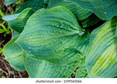 variegated green leaves of hosts with white stripes as background.texture natural background of plant leaves.Tropical concept, green background. Plant host after the rain, drops of water on large
