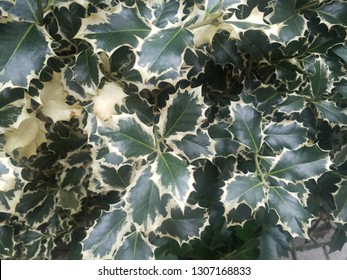 variegated holly plants