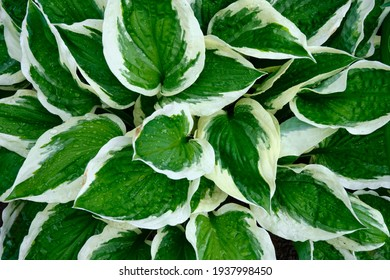 Variegated host. Garden after watering. Water drops on plants. Beautiful flowers close-up.