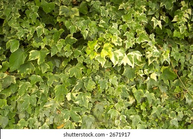 Variegated ivy in full summer bloom covering the whole of a garden fence