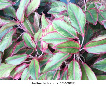 variegated leaves background