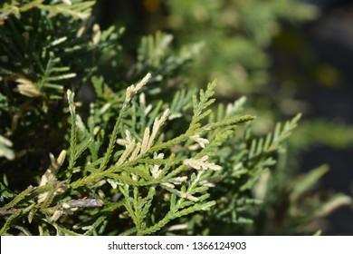 Variegated Leyland cypress - Latin name - Cuprocyparis leylandii Variegata (Cupressocyparis leylandii Variegata)