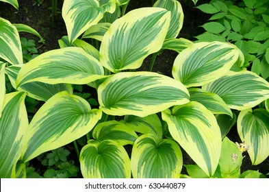 Variegated Liberty Hosta