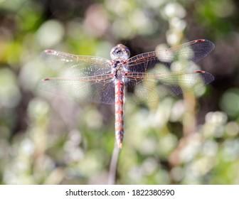 Variegated Meadowhawk (Adult Male) Dragonfly. La Honda Creek, San Mateo County, California, USA.