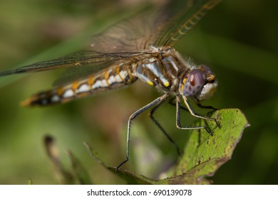 A Variegated Meadowhawk dragonfly perched on a leaf.