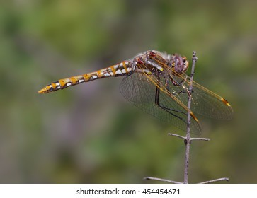 Variegated Meadowhawk (Sympetrum corruptum) dragonfly.  These insects (Libellulidae family) are native to North America. Photo taken in Southern California.