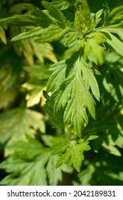 Variegated mugwort Oriental Limelight leaves - Latin name - Artemisia vulgaris Oriental Limelight