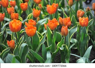 Variegated orange Triumph tulip (Tulipa) Annie Schilder flowers in a garden in April 2016