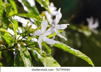 variegated pinwheel jasmine flowers