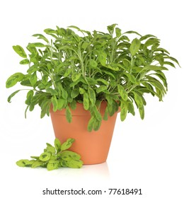 Variegated sage herb plant in a terracotta pot, with leaf sprigs, isolated over white background.