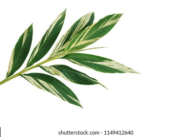 Variegated shell ginger leaves (Alpinia zerumbet 'Variegata), tropical forest plant isolated on white background, clipping path included.