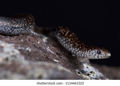 The Variegated Slug-eater (Duberria variegata) is a slow moving slug eating snake species found in Southern Africa.