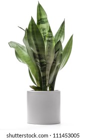 Variegated Snake plant A potted plant isolated on white