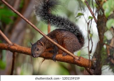 Variegated squirrel (Sciurus variegatoides) near Sarapiqui river, Costa Rica