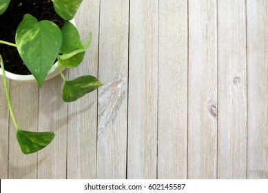 Variegated vine house plant on a pale wood slatted background from a top down perspective ariel view.