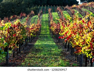 Variegated Vineyard - Row upon row of colorful wine country. Sonoma County, California, USA