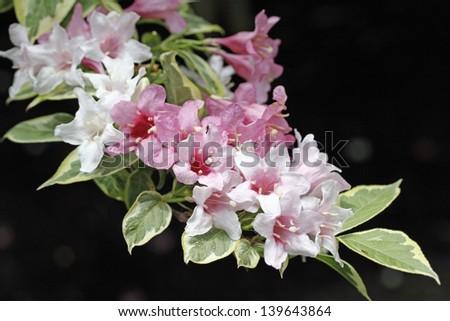 Variegated Weigela Shrub Pink Flowers Stock Photo Edit Now
