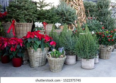 Variery of winter plant decoratinos for home garden such as picea in pots, different Christmas trees in baskets, ilex aquifolium or Christmas berry holly tree, red poinsettia Christmas flower in pots.