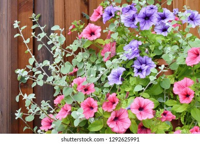 Varieties of petunia and surfinia flowers in the pot in front the door