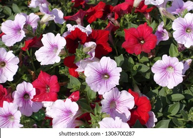 Varieties of petunia and surfinia flowers in the pot or in garden.