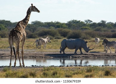 A variety of animals, including a Giraffe, White Rhino and Plains Zebra, congregate around a small waterhole in the Khama Rhino Sanctuary in central Botswana