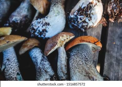 Variety assortment of different forrest mushrooms picking hunting in Sweden, Norrbotten County, Kiruna municipality, with birch mushroom, boletus mushroom, orange-cap boletus and others