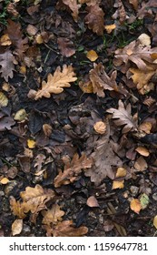 A variety of Autumn (Fall) leaves in brown and golden hues on wet soil of woodland floor. Overhead shot.