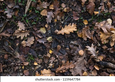 A variety of Autumn (Fall) leaves in brown and golden hues on wet soil of woodland floor. Photographed from above.
