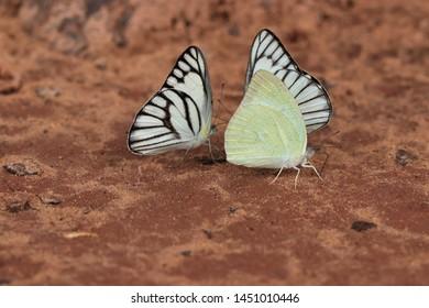 Variety of butterflies at Tat Ton Waterfall Tat Ton National Park Chaiyaphum Province, Thailand