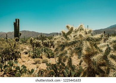 A variety of cacti species, Cholla Cactus, Prickly Pear Cactus, Saguaro Cactus in the Sonoran Desert in Saguaro National Park in Tuscon, Arizona, USA