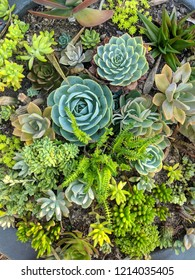 variety of cactus and succulent background or backdrop with large rosettes