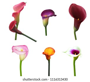 Variety Calla Lilies in red, yellow, orange, purple colors isolated on white background
