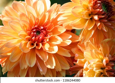 variety  of chrysanthemum kids stuff asteraceae plant, three large orange flowers in parts, the core is red, sunny autumn day, close-up, lit by sunlight,
