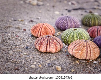 variety of colorful sea urchins close up on wet sand beach