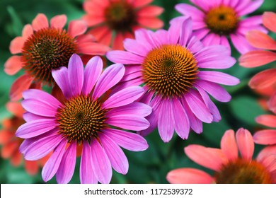 A variety of colors of daisy-like coneflowers or Echinacea with spiky cones brightened with orange tips