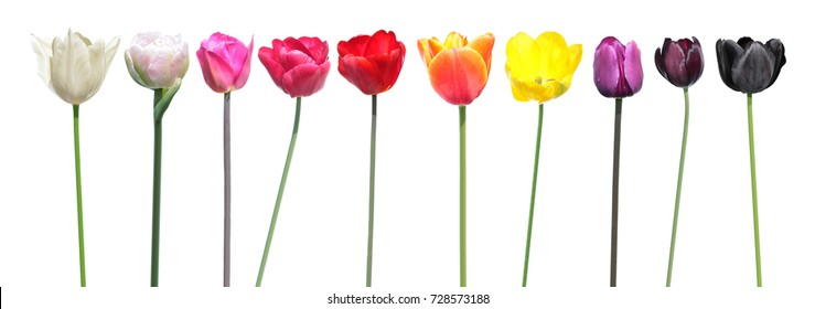 Variety of colors of tulip flowers. Color palette is an example of the color change in tulip flowers. Set of different tulip flowers isolated on white background