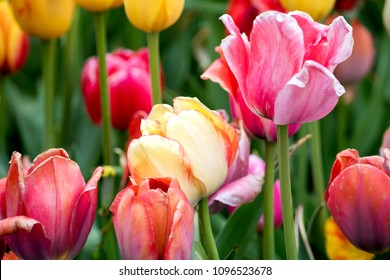 A variety of colourful tulips grow in a vibrant spring garden in Michigan USA