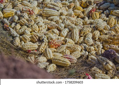 variety of corn put on the ground after harvest