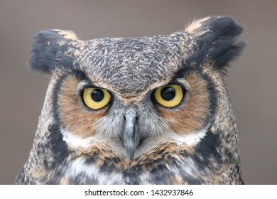 A variety of Great horned owl portraits