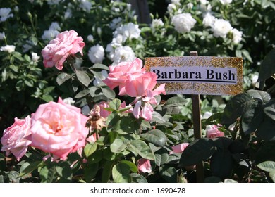 A variety of roses that are called Barbara Bush.