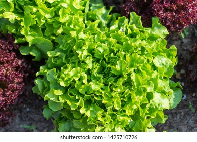 A variety of salat and vegetable in the garden
